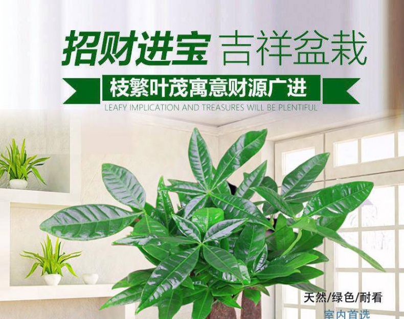 Rich tree the plants ceramic pot indoor soil raising flowers miniascape green plant Rich gold cash cow flowers sitting room