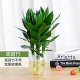 室内绿植观音竹富贵竹带花盆3支装劵后6.8元包邮