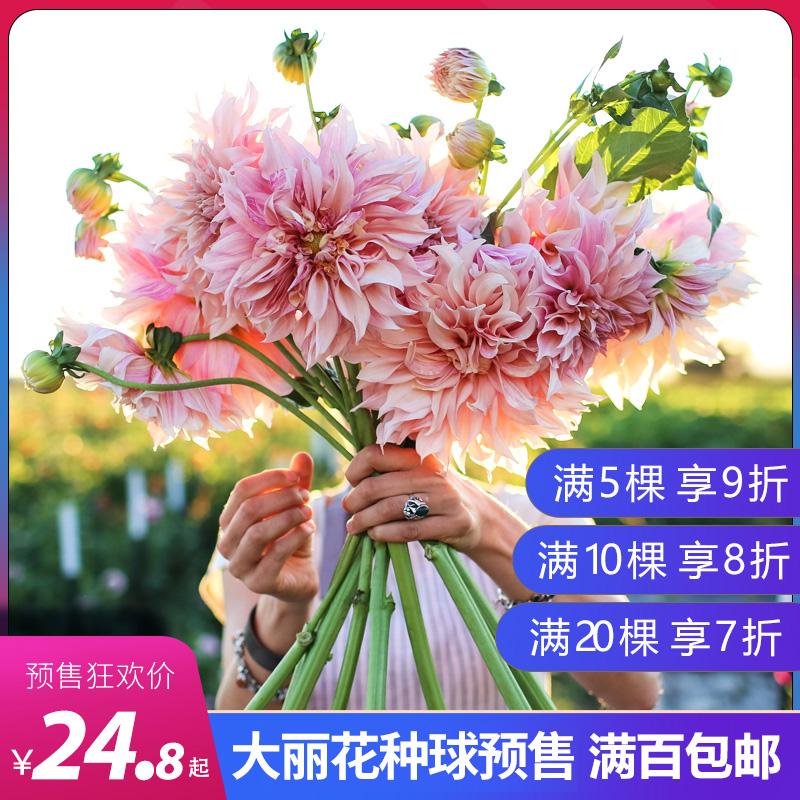 种花王球根预售大丽花大爷荷兰进口盆栽种球花卉地栽花大易养重瓣
