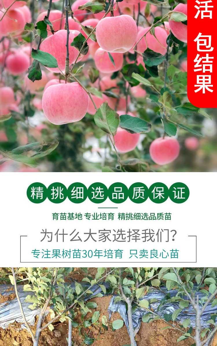 苹果树果苗地栽南方特大当年结果冰糖心红富士花牛北方种植果树苗详细照片