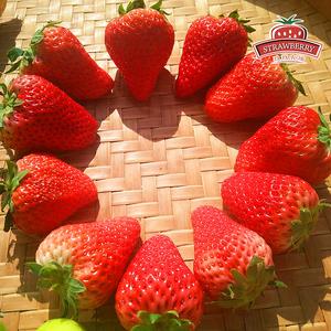 正宗丹东九九草莓红颜牛奶三斤装大果 草莓奶油草莓新鲜草莓水果