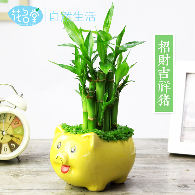 Huamingtang Festival High And Small Bamboo Potted Formaldehyde