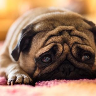 狗狗爱你的五种表现,你家狗子中了几条