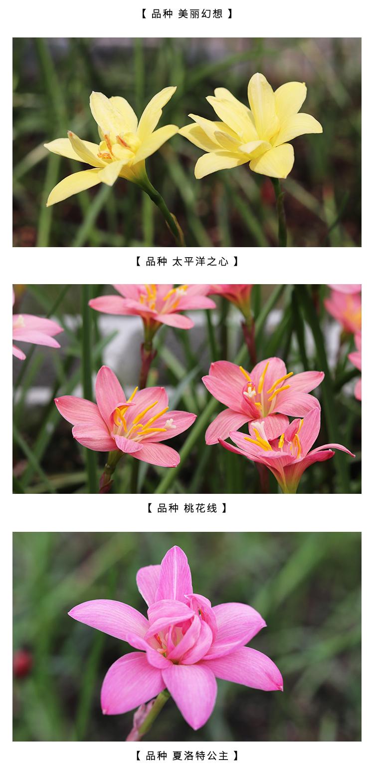 塔莎的花园风雨兰重瓣四季室内风雨兰韭菜花种球四季可种包邮详细照片