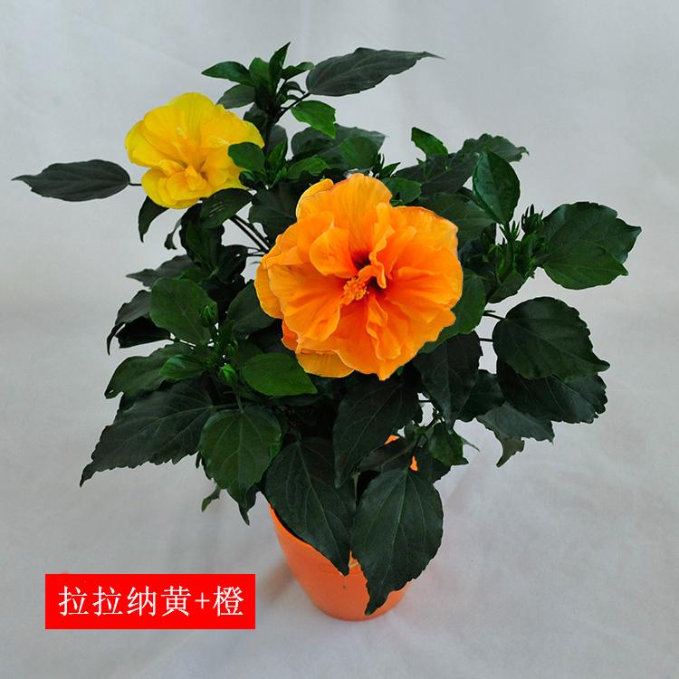 丹麦木槿重瓣牡丹花型盆栽绿植花卉进口种苗橘橙色室内桌面盆栽