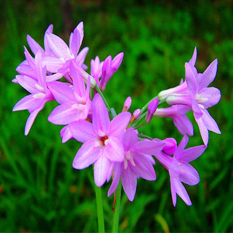 紫娇花 庭院花卉 紫色小花 多年生绿值