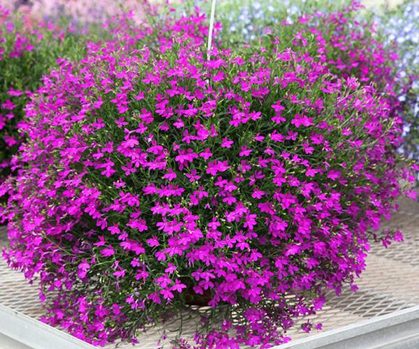 六倍利绿植垂吊半边莲翠蝶花种子种子吊兰花阳台花籽蓝色花卉