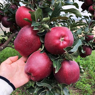 天水花牛苹果净重9斤精选70-75mm精品果宝宝辅食蛇果新鲜采摘包邮