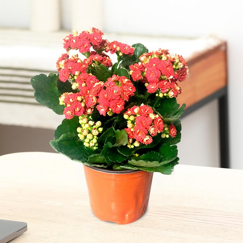 长寿花室内观花盆栽植物四季开花不断重瓣带花苞多肉好养绿植花卉
