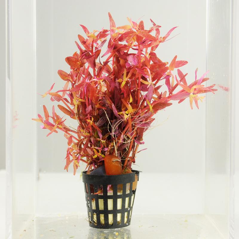 红卵叶水丁香 Ludwigia ovalis red 水草100%自养水下叶