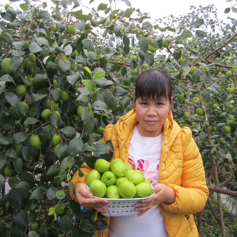 台湾大结果果树苗南方种植嫁接苗庭院青枣水果地栽盆栽苗当年四季
