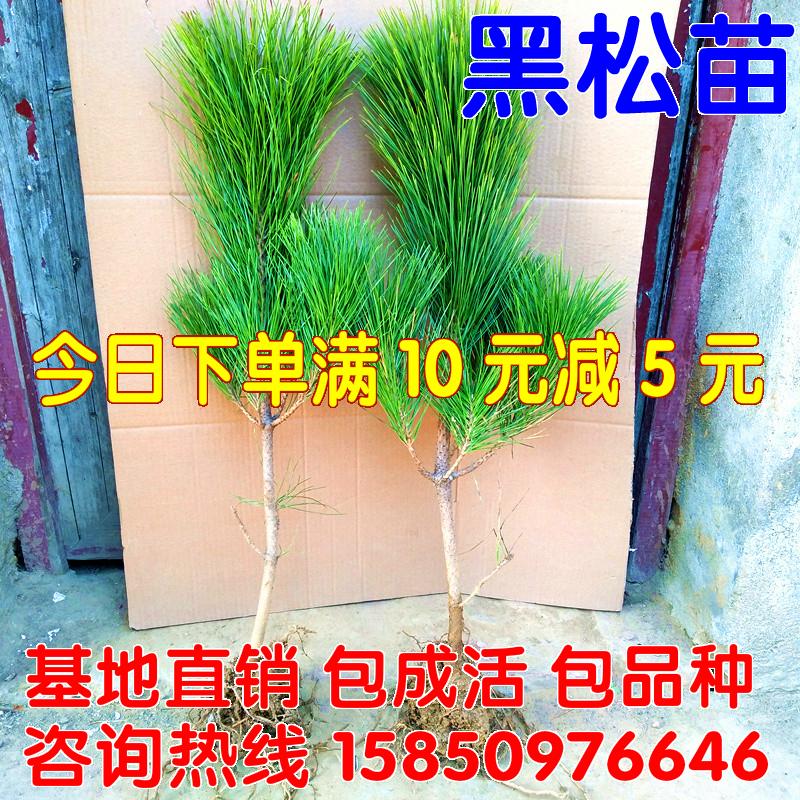 绿化苗木日本黑松苗黑松树苗 白皮松小苗庭院四季常青植物松树苗