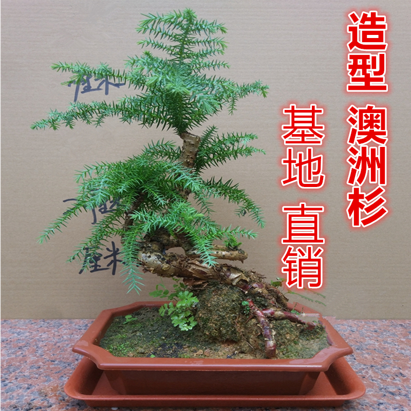 Modeling Australian Cedar Bonsai Tree Stump Indoor Green Plants Four Seasons Evergreen Australian Pine Potted Plant Beautiful Fortune Tree