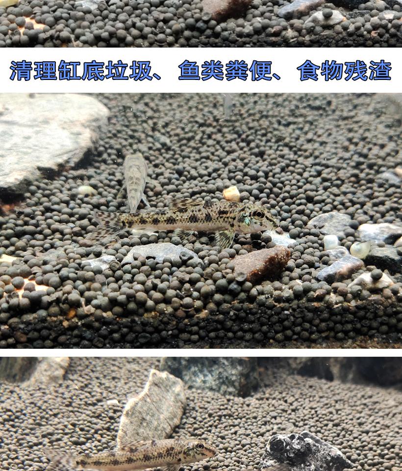 原生冷水清道夫观赏棒花鱼活体清洁小型垃圾工具老鼠鱼底层吃屎粪详细照片