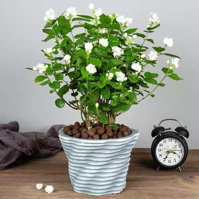 我国十大香花,家里养一盆,满室生香54
