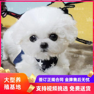 Bichon Puppy Puppy Live Purebred Pet Dog Curly White Small Dog Lint-Free Domestic Dog Beijing Pekingese Kennel