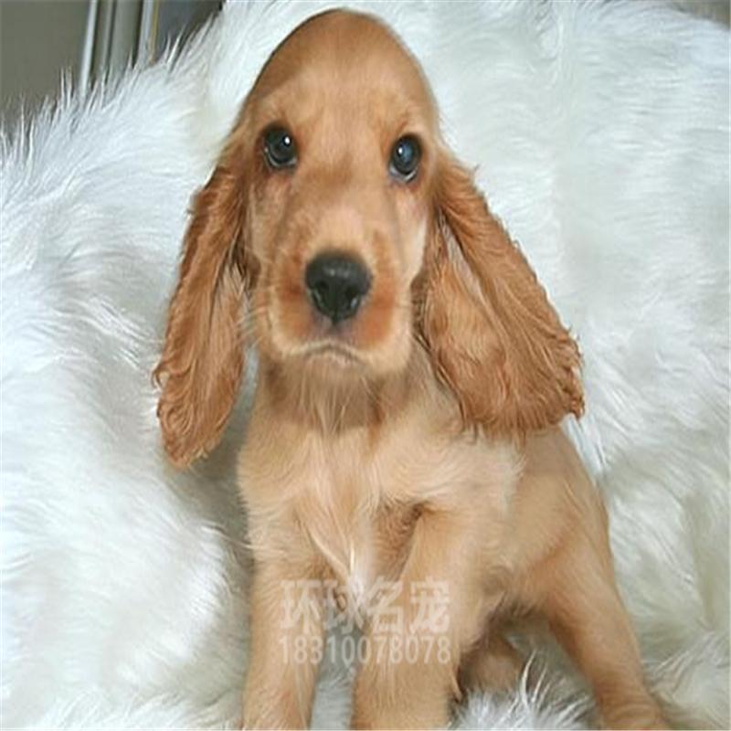 出售纯种英国可卡美卡宠物狗狗幼犬活体家养犬可卡犬西高地茶杯犬