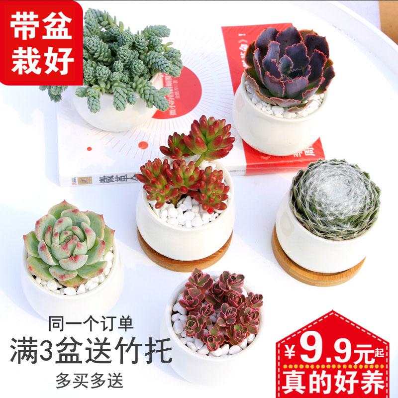 多肉观花植物含花盆带土组合盆栽超萌新款花卉肉肉绿植室内花植物