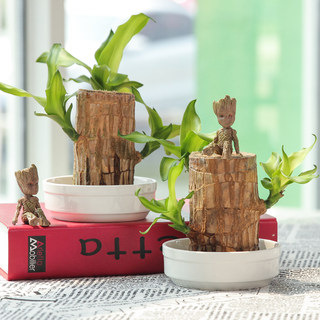 Brazilian wooden potted aquaculture mini indoor desktop greenery evergreen lucky wood grout hydroponic plant