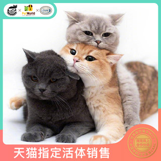 Beloved world British short-haired cat blue cat blue silver gradually silver dot gold gradual layer pet cat live WCF
