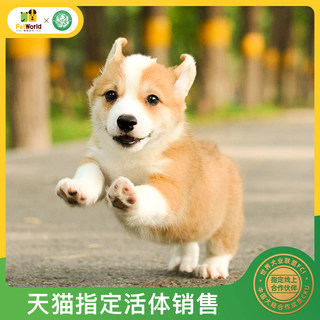 Pamper the world Corgi puppies live Welsh purebred two-color small short-legged dog purebred puppies male and female ZY