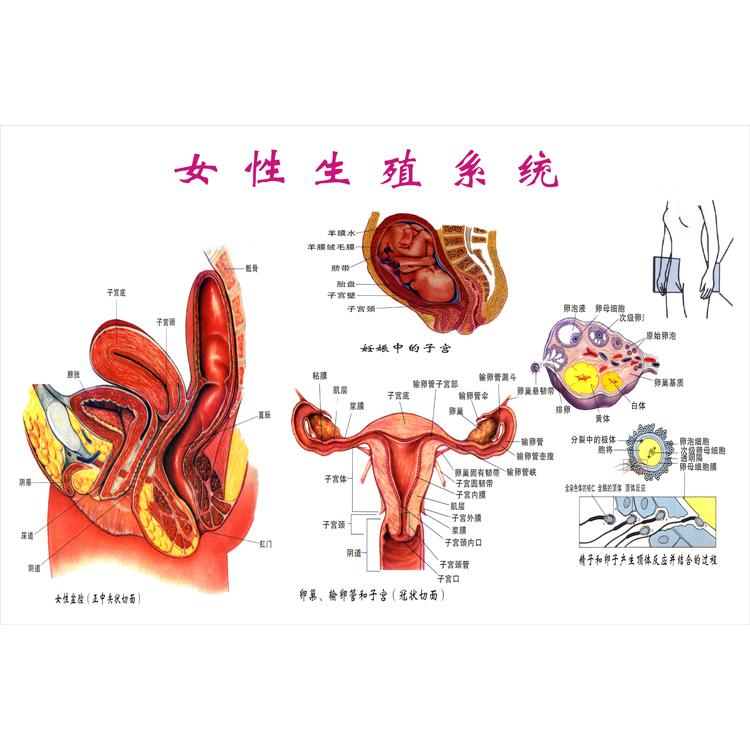 泌尿人体v人体男女概观图|海报心脑血管示意系统|系统解剖图挂图