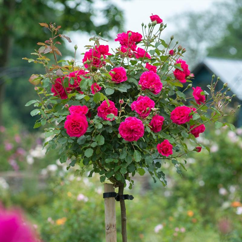 庭院盆栽地栽绿植花卉高杆树形树桩月季树大花月季花苗玫瑰树苗-给呗网