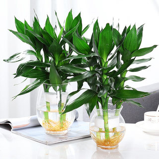 Guanyin bamboo hydroponic plant indoor spout bamboo potted green plant flowers rich bamboo water conservation living room to recruit high
