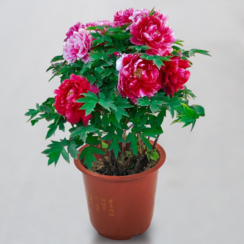 18 юаней 3 5 лет Лоян цветок пион цветок цветок цветок цветок цветок крытый цветок сад балкон четыре сезона цветение