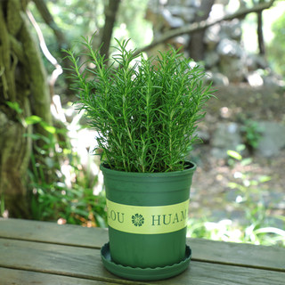 Rosemary potted steak with fresh mint leaves, edible herbs, green plants, indoor mosquito repellent plants