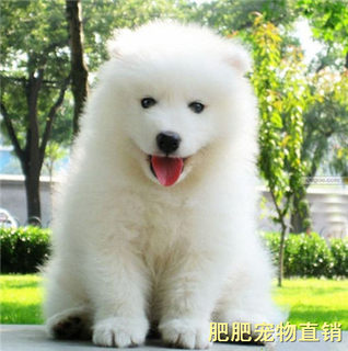 Purebred Samoyed puppies live in vivo smiling angel Samoyed sled dog medium-sized dog Samoyed pet dog