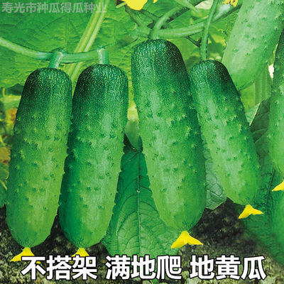 Climbing fruits on the ground, cucumber seeds, green core cucumber seeds, saplings, dry cucumber terraces, four seasons vegetable seedlings