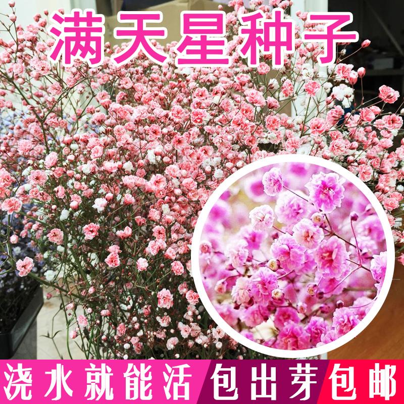 满天星盆栽花种子阳台种易活开花种子室内种子四季花籽不断包邮