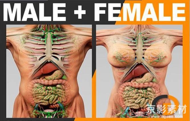 人体器官肌肉骨骼内脏精细3D模型素材C4D模型/3DMax模型