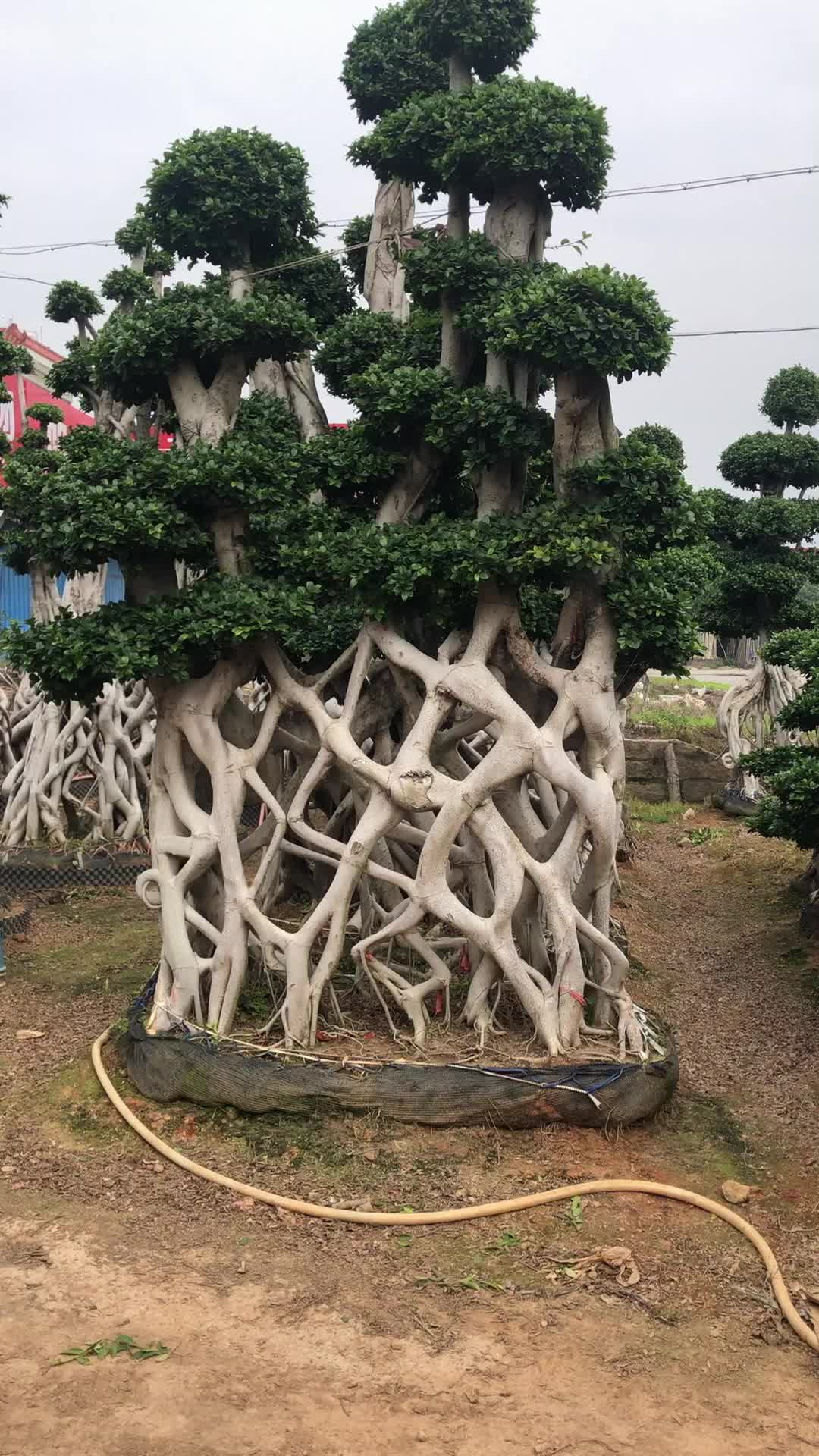 Großhandel live natürliche große oder große ficus microcarpa baum bonsai pflanzen outdoor indoor landschaft oramental dekoration kindergarten oder