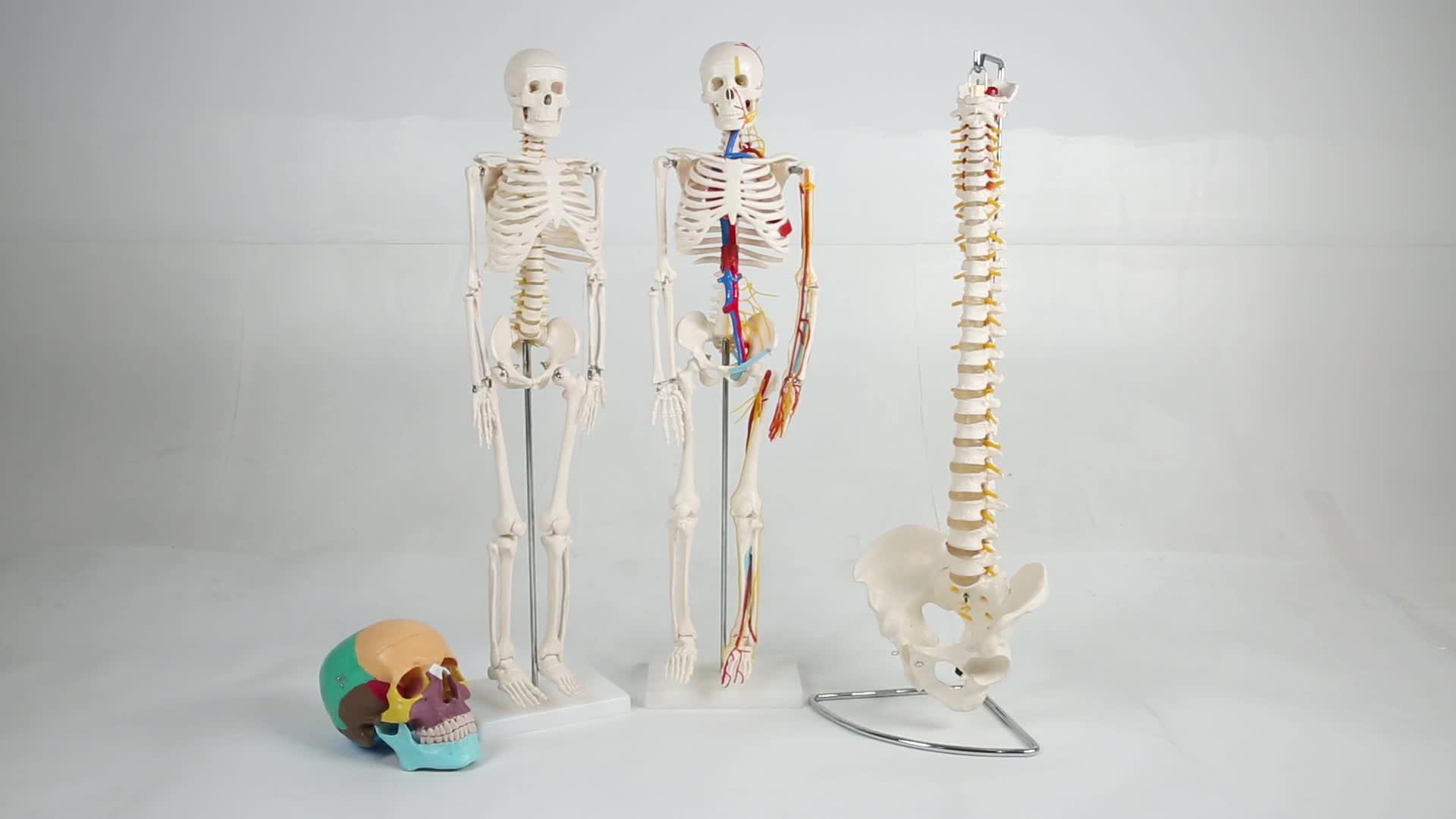Joint Skeleton model,2018 Four Stage Pathological Knee Joint Model