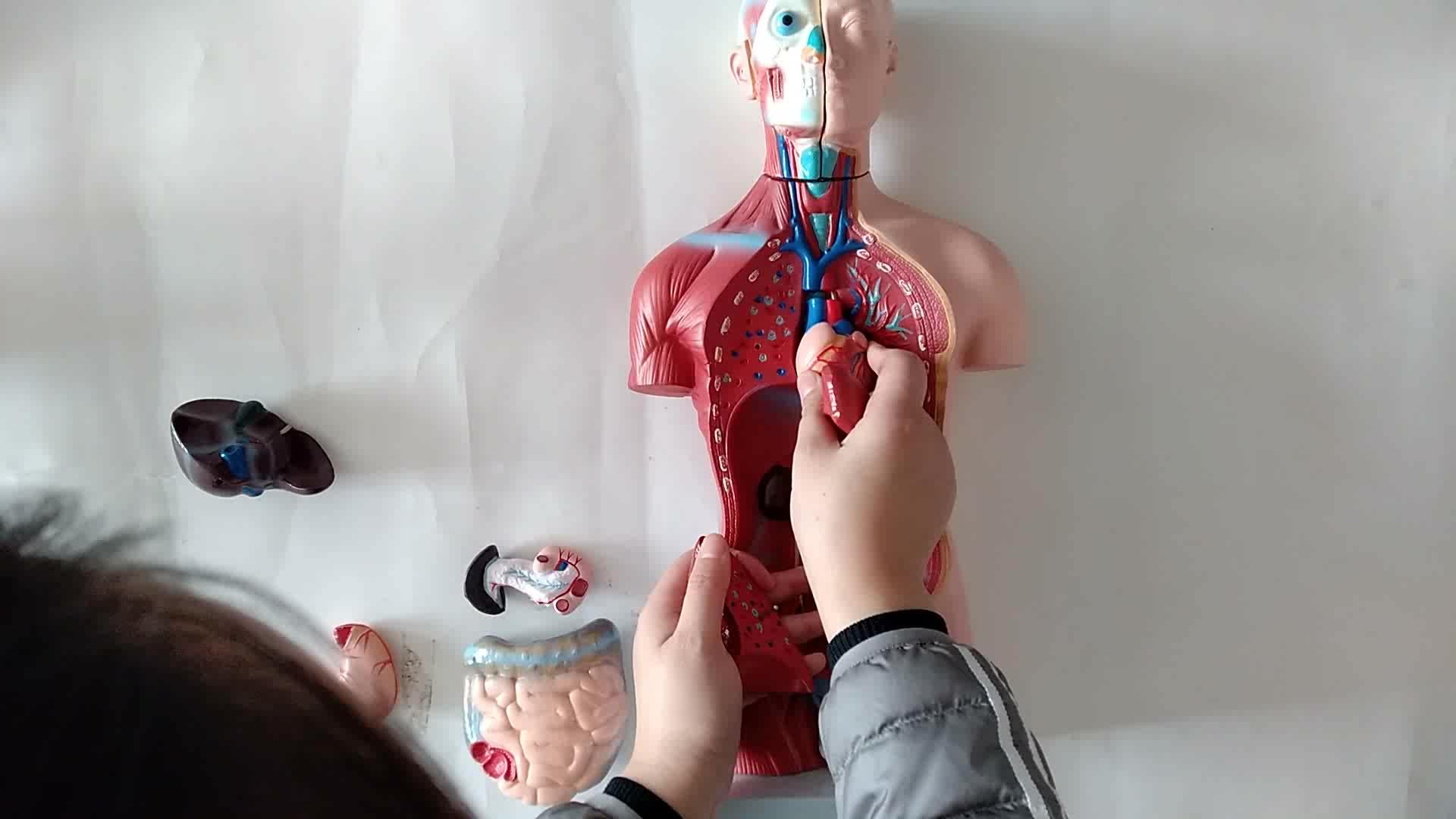 High Quality  Medical Teaching Model Anatomy Torso Model  85CM Tri-sex Torso Model 21 Parts