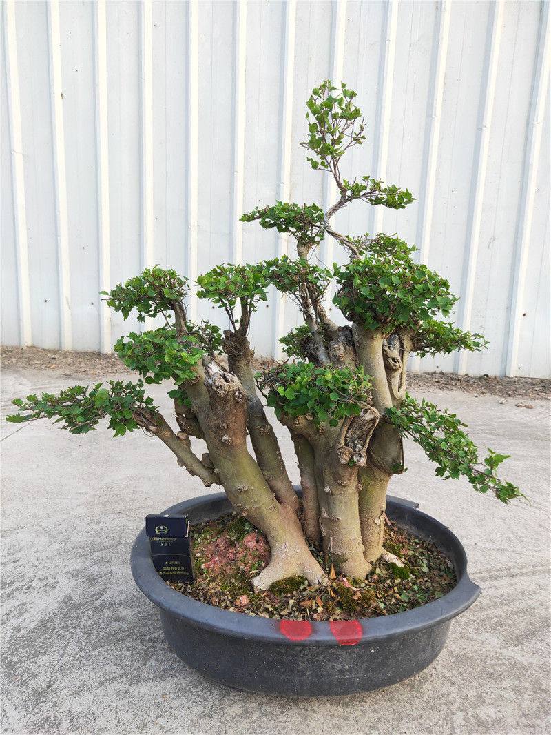 Small Leaf Bodhi Tree Bonsai Protect Your Life Authentic Buddhist Flowers And Trees Happy Tree Green Plant Bonsai Batch