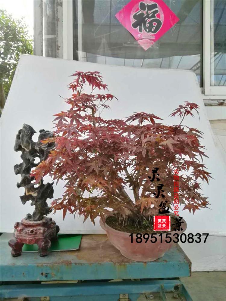 盆景老桩日本红枫猩猩盆景实物日本红枫古桩树桩舞姬出精品盆景