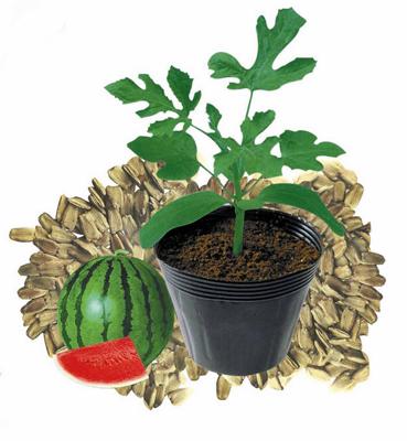 西瓜嫁接砧木种子 葫芦籽