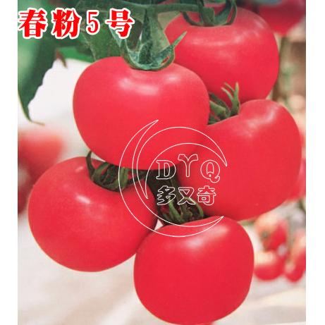 春粉5号春播早熟番茄种子
