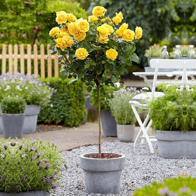 Stump rose big flower fragrant four seasons flowering garden potted ground indoor rose tree-like grafted rose sapling