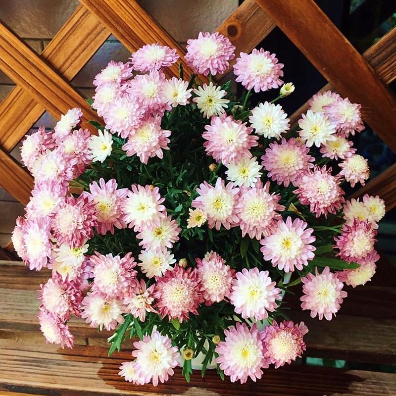 小苗玛格丽特花苗大花糖果玛植物盆栽花卉开花机器大苗带花易养活