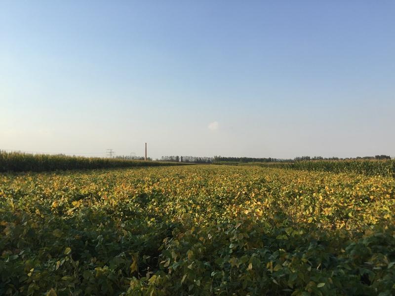 小黄豆发芽率超高发豆芽专用黄豆农家自种黄豆非基因改造黄豆详细照片