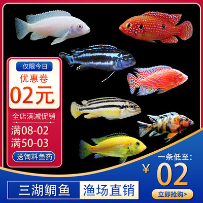 African prince Blue Ali pet fish three lakes Ci mamma martial fish tropical fish ornamental fish squid