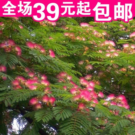 麦冬草 正宗日本矮麦冬草 四季常青玉龙草 耐寒庭院绿化草坪植物