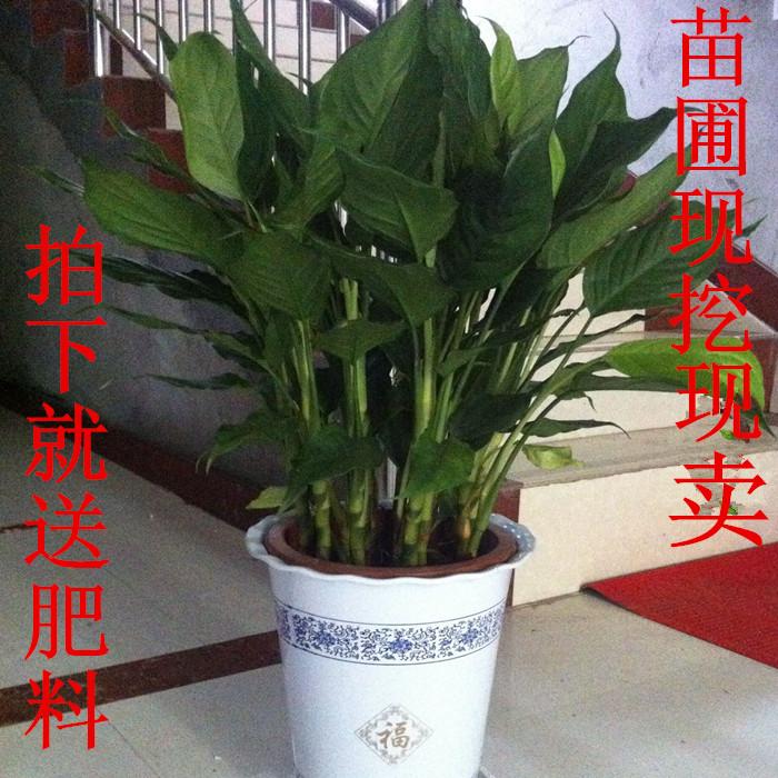 鸿运当头盆栽 凤梨花小红星 四季开花室内客厅水培植物 红运当头