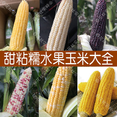Super sweet fruit corn seeds Four seasons vegetable sowing rock sugar milk white sticky black waxy colorful strawberry seeds high yield