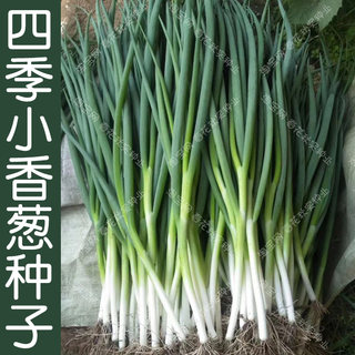 Four seasons of small chives seed spring, summer, four seasons, sang sangy seed vegetable balcony potted fields