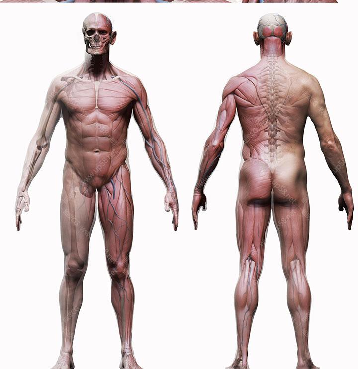 ZTL / OBJ男性女性人物角色骨骼肌肉雕刻精细3D模型